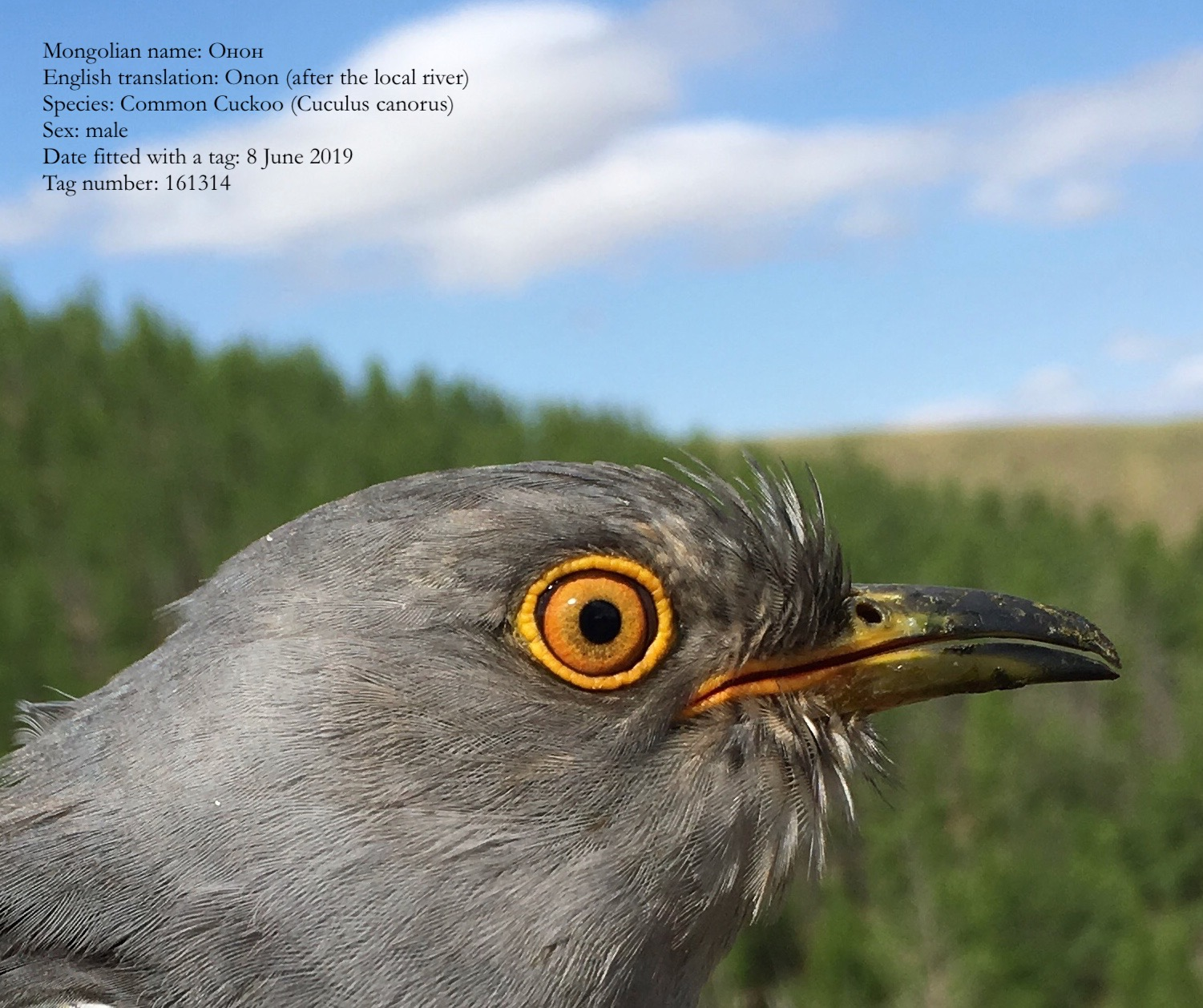 File image of The mongolian cuckoo known as Onon which flew from Kenya to India