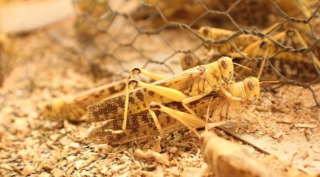 File Image of locusts mating.