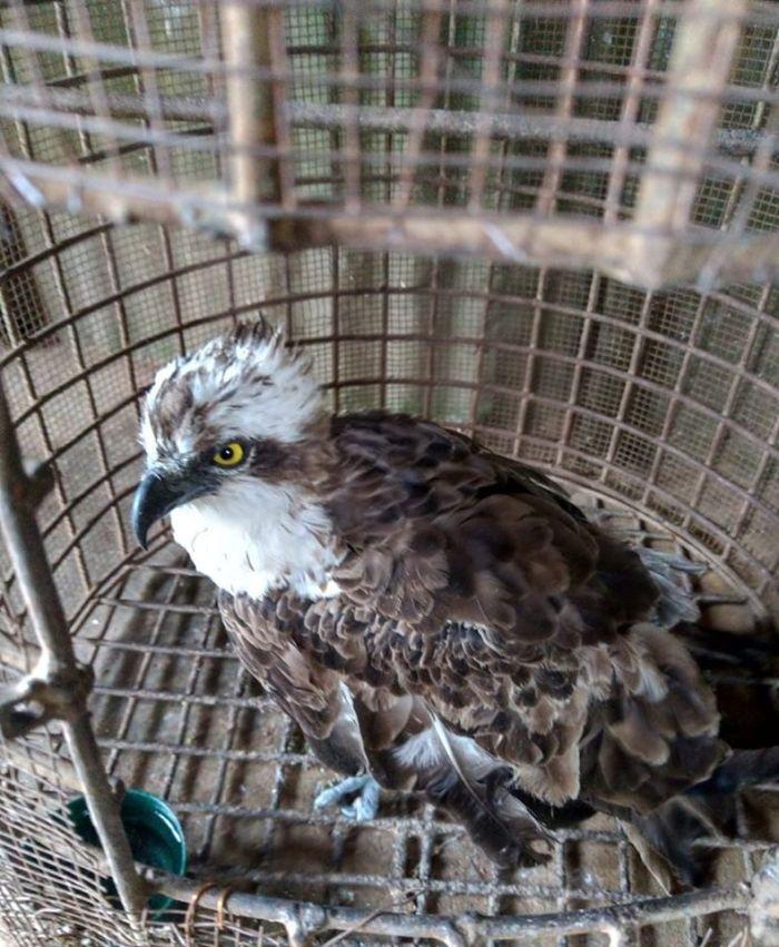 The Osprey bird found in Siaya County on Monday, January 20
