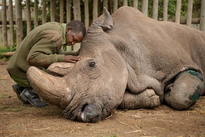 Joseph Wachira, a keeper at the Ol Pejeta Conservancy in Kenya, comforting Sudan, the last male northern white rhinoceros minutes before death. Sudan died in March 2018.