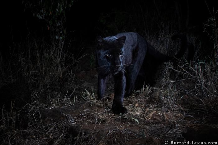 Photo of rare black leopard captured for first time in 100 years