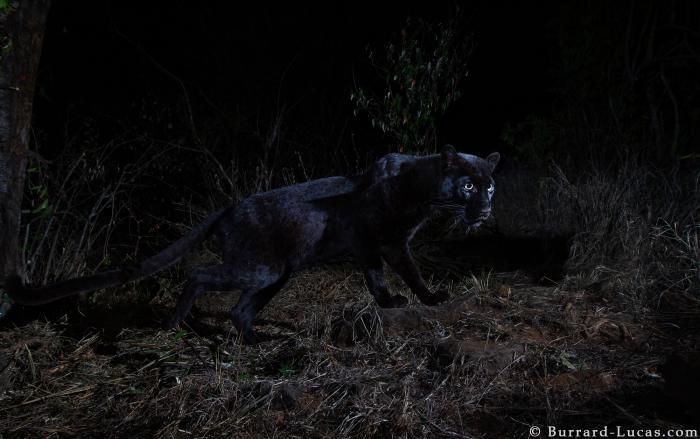 Rare glimpse of elusive black leopard caught on camera