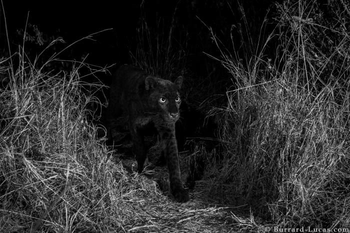 Another rare black Leopard spotted in Laikipia, Kenya