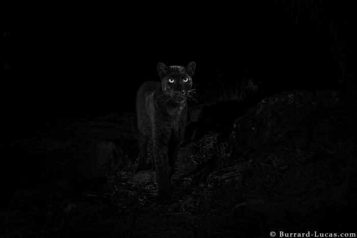 Rare black leopard finally caught on camera