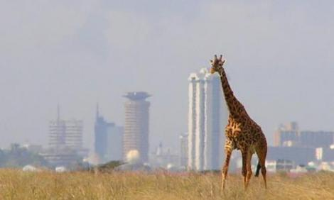 A giraffe towers over the Nairobi National Park.