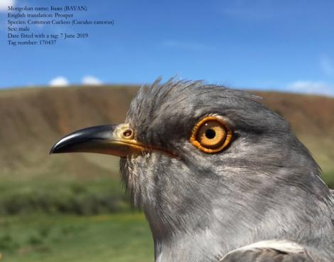 File image of Bayan, a mongolian cuckoo who flew from Somalia to India
