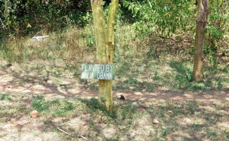 The trees planted by the Obama Family at the Maasai Mara in 2006.