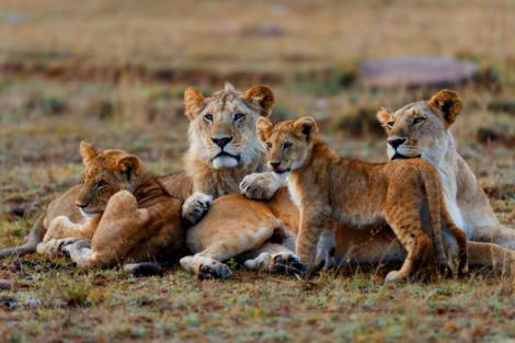 A pride of lions pictured.