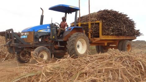 Sugarcane being transported on a tractor.