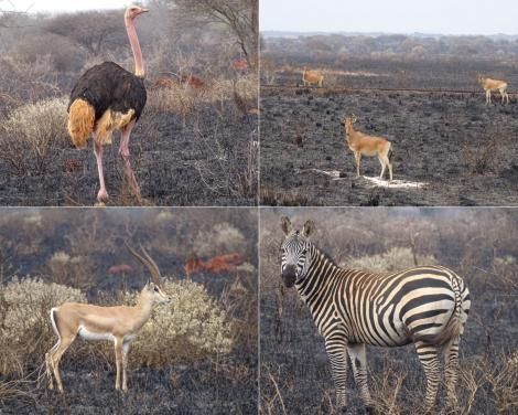 The aftermath of the fires at Tsavo Conservation area