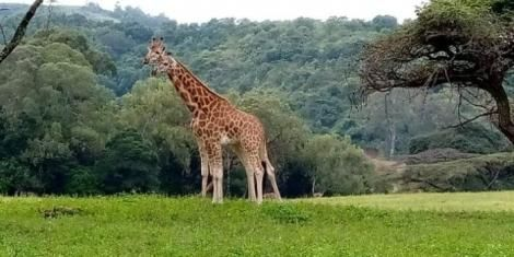 The giraffes at the new home in Tindress Wildlife Sanctuary in Solai Nakuru on Thursday, October 29.