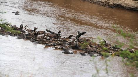 Vultures feed on hundreds of wildebeests that drowned on the afternoon of August 23, 2020 in a bizarre incident within the Maasai Mara Game Reserve.