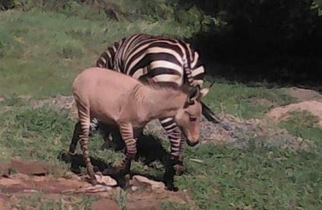 A zonkey pictured with its mother grazing at Chyulu Hills National Park