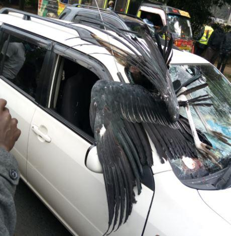 The marabou stork that crashed into the windscreen of the vehicle.