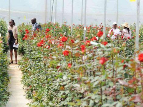 A flower farm at Karuturi, Naivasha during its fruitful days, before closure in 2014