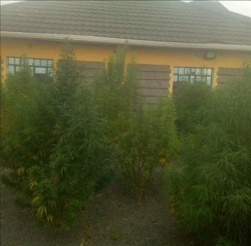 Suspected cannabis sativa plantation discovered by detectives from Mwireri area, Juja Farm