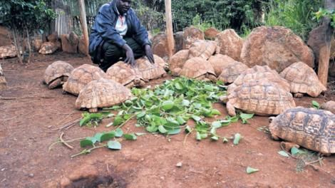 A farmer pictured feeding his tortoise.The business is considered to be lucrative in Kenya
