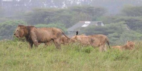 The pride of stray lions which were sighted outside the Nairobi National Park in October 2019.