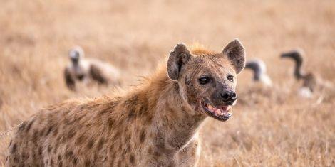 File image of a hyena